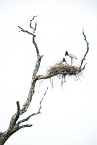 033-Couple Jabiru in the nest
