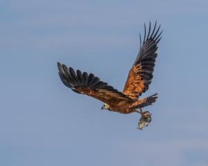 037-Hawk got fish