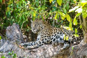 039-Jaguar relaxing