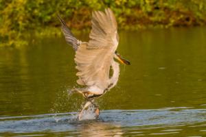 040-Grey Egret got fish 3