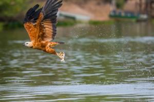 041-Black-Collared Hawk got fish