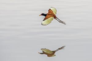 042-Wattled Jacana in flight