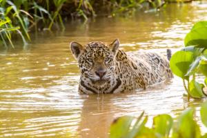 043-Jaguar in swimming