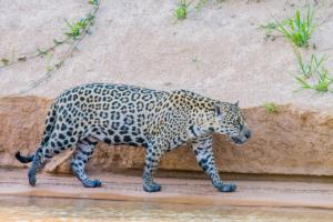 045-Jaguar walk a long the river