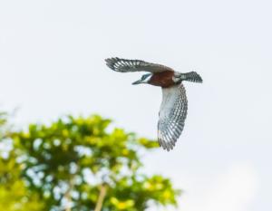 048-King fisher in flight