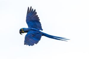 049-Hyacinth Macaw in flight