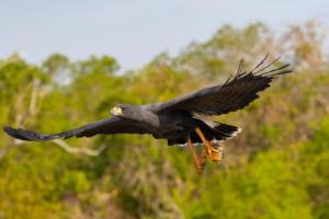 aves voo pescando pantanal mt rio claro 2