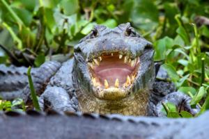 jacares caiman rod transpantaneira pantanal mt