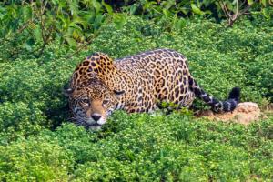 onca pintada panthera pantanal mt pe encontro agua2