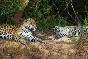 onca pintada panthera pantanal mt pe encontro agua3
