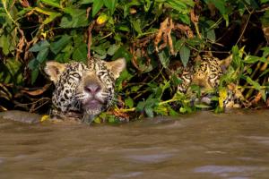 onca pintada panthera pantanal mt pe encontro agua5