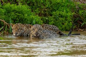 onca pintada panthera pantanal mt pe encontro agua8