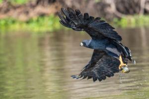 Black Hawk with Catch