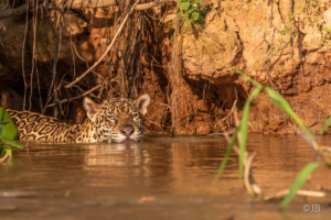 Cats in the Water-1