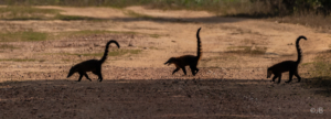 Coati Crossing