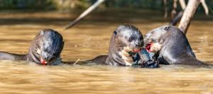 Crazy Otter Medly-3