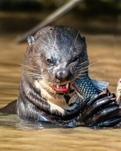 Crazy Otter Medly-4