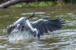 Fishing Heron-2