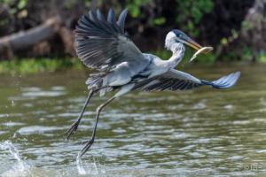 Fishing Heron-3