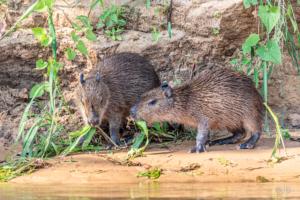 Juvenile Capybara