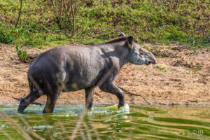 Juvenile Tapir