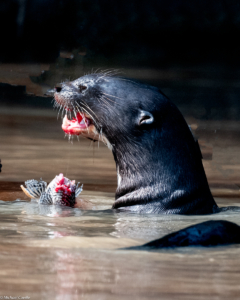 009-MC-Giant Otter lunch