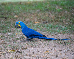 012-MC-Hyacinth Macaw