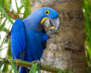 014-MC-Hyacinth Macaw eating