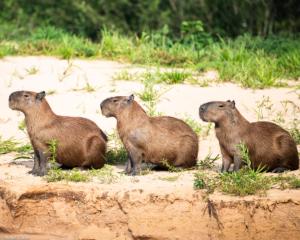 015-MC-Capybaras