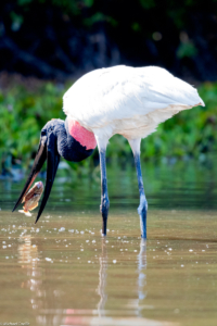 018-MC-Jabiru stork fishing
