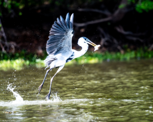 020-MC-Great Blue Heron fishing