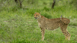 018-Leopard