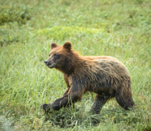 AK15 JaneP-Pack Creek Admiralty Is., Grizzly bears, Eagle juv-2