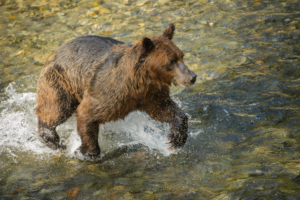 AK15 JaneP-Pack Creek Admiralty Is., Grizzly bears, Eagle juv-5