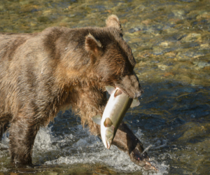 AK15 JaneP-Pack Creek Admiralty Is., Grizzly bears, Eagle juv-6
