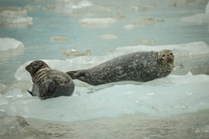 AK15 JaneP-Tracy Arm, Icebergs, Harbor Seals-4