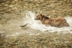 AP-8925Grizzley Bear catching Salmon-2