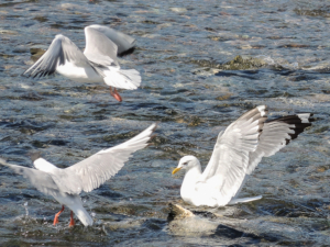 CarB-Seagulls_Salmon_Creek
