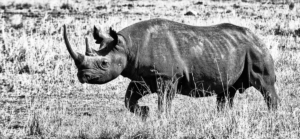RHINO IN BLACK AND WHITE-