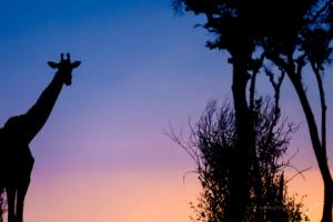 GIRAFFE SUNSET-