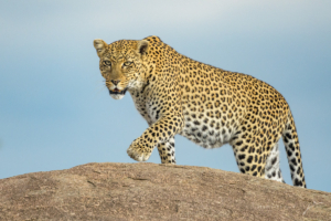 LEOPARD ON THE PROWL-5003306