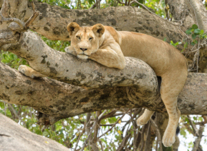 LION IN TREE-5003740