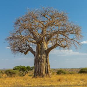 AT 138 - Baobab Tree-2