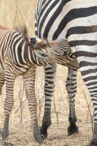 AT 139 - Zebra-5002455
