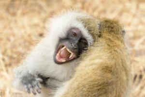 AT 140 - Monkey- 5002628