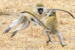 AT 141 - Monkey- 5002653