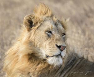 AT 147 - Lion--15