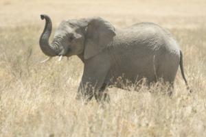 AT 151 - Elephant-5006261