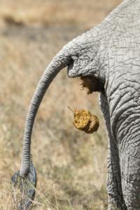 AT 152 - Elephant-5006796