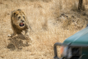 AT 154 - Lion--19